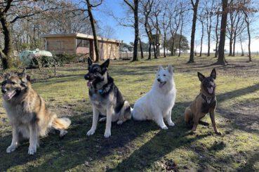 4 honden op een rijtje RHWW